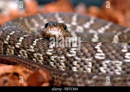 Diamond Water Snake - Stock Photo
