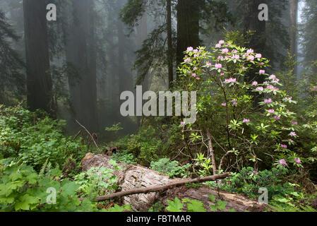 Azalea blooming in forest - Stock Photo