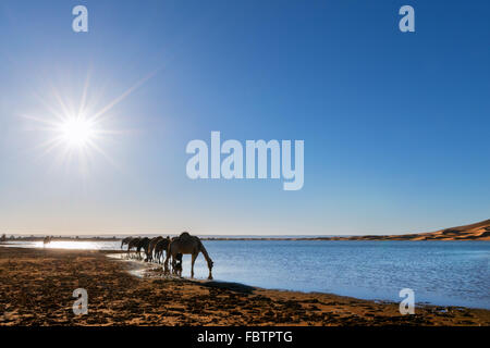 Dromedaries drink water at a rain-filled lake at the sand dunes of Erg Chebbi, Merzouga, Morocco. - Stock Photo