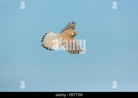 Single Female Common European Kestrel Falco tinnunculus flying with wings spread against blue clear sky, Worcestershire - Stock Photo