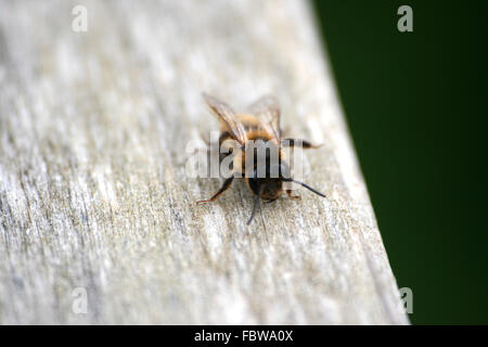 Close Up Of A Tired Bee, Cornwall, England - Stock Photo