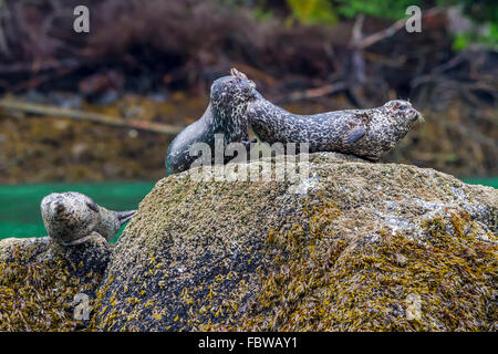 Harbour Seals (Phoca vitulina) on a rock in Knight Inlet, British Columbia, Canada. - Stock Photo