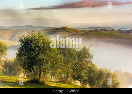 Olive trees in the hills of Tuscany. Near Asciano, Crete Senesi zone, Italy - Stock Photo