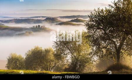 Olive trees in the hills of Tuscany. Near Asciano, Crete Senesi zone, Italy - Stock Photo