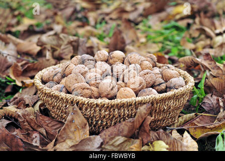 Harvested walnuts in a basket - Stock Photo