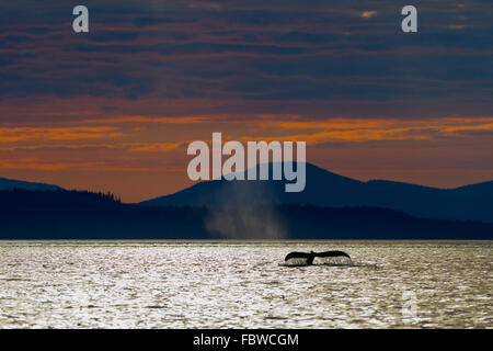Humpback Whale (Megaptera novaeangliae) shows its fluke during sunset in front of Vancouver Island Mountains, British - Stock Photo