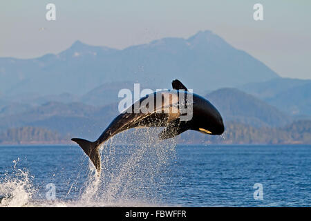 Transient killer whales (orca, Orcinus orca, T30's & T137's) after killing a sea lion off Malcolm Island near Donegal Head Stock Photo