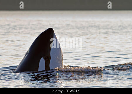 Transient killer whales (orca, Orcinus orca, T30's & T137's) after killing a sea lion off Malcolm Island near Donegal Head, Brit Stock Photo