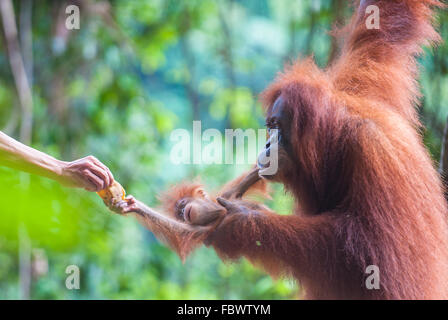 Mother and baby orangutan feeding, Bukit Lawang, Sumatra, Indonesia - Stock Photo