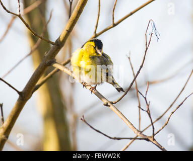Black-headed Goldfinch (Carduelis spinus) sitting on a branch. - Stock Photo