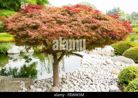 Japanese maple (acer palmatum dissectum)tree in a japanese garden - Stock Photo