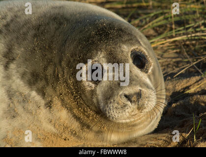 Grey seal pup on Horsey Beach, Norfolk, UK. Close-up portrait. - Stock Photo