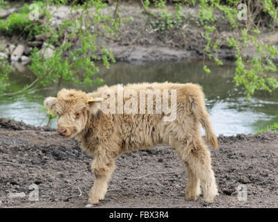 heck cattle - Stock Photo