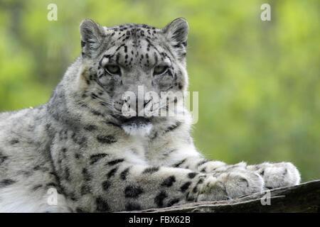 Schneeleopard - Stock Photo