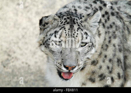 the rare snow leopard - Stock Photo