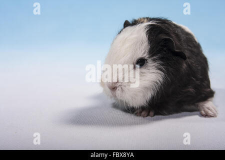 guinea pig baby with white head - Stock Photo