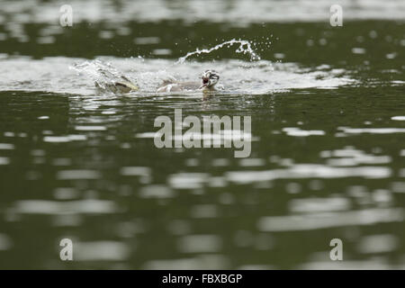 Great Crested Grebe, Podiceps cristatus - Stock Photo