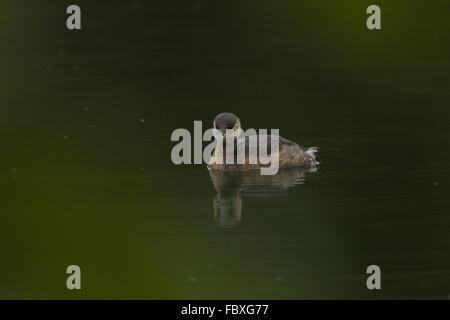 Little Grebe, Tachybatus ruficollis - Stock Photo