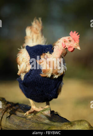 Ex battery hens with knitted woollen jumpers - Stock Photo