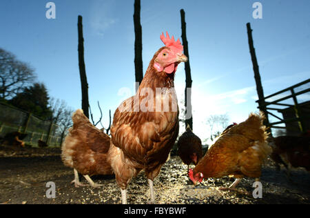 Ex battery chickens given new homes. - Stock Photo