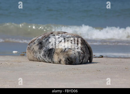 sleepy seal - Stock Photo