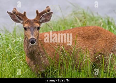 Portrait of a coastal male Sitka black-tailed deer (Odocoileus hemionus sitkensis) along the British Columbia Mainland - Stock Photo