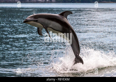Pacific White Sided Dolphin (Lagenorhynchus obliquidens) jumping in Broughton Archipelago Marine Park in British Columbia, Canad