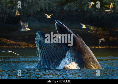 Humpback Whale bubble net feeding, seagulls  trying to join in, Broughton Archipelago, Knight Inlet, British Columbia, - Stock Photo