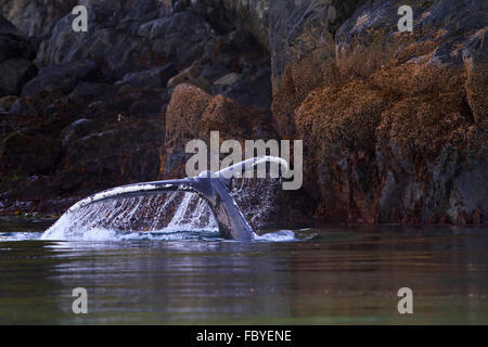 Humpback Whale (Megaptera novaeangliae) shows its fluke along the Knight Inlet shoreline, British Columbia, Canada - Stock Photo