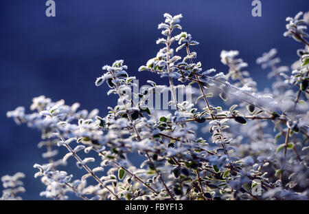 Frost on leaves - Stock Photo