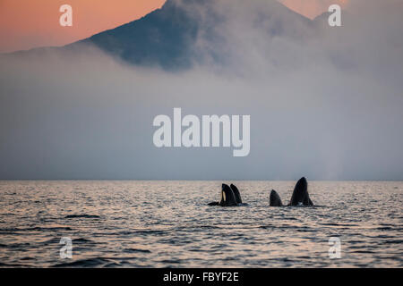 Group of resident killer whales (Orcinus orca) spy hopping in Johnstone Strait, off Vancouver Island, British Columbia, - Stock Photo