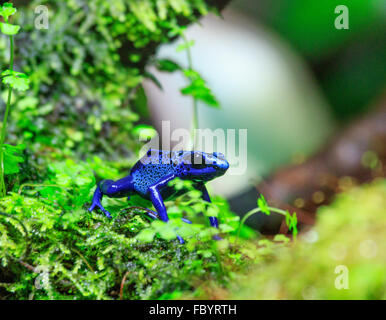 blue spotted tree frog - Stock Photo