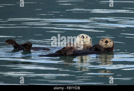 Sea Otters from Kenai Fjords National Park - Stock Photo
