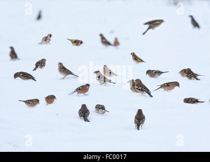 Flock of finches, mainly Chaffinches with a few Goldfinches, looking for food on thick snow in winter. Scotland, - Stock Photo