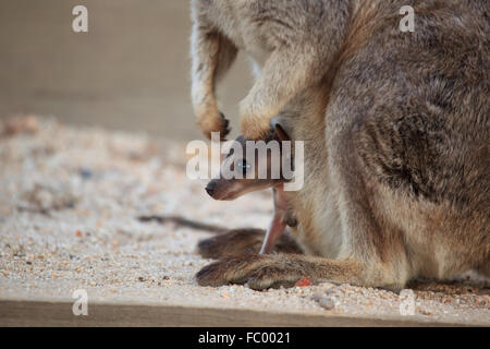 Mother and baby wallaby from granite gorge, Australia Stock Photo