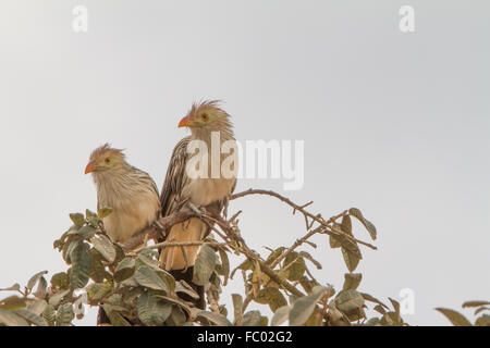 Guira cuckoo - Stock Photo