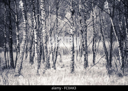 Birch trees in a moor. - Stock Photo