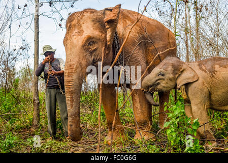 A mahout pairing adult Sumatran elephant with its baby for a walk in Way Kambas National Park, Indonesia. © Reynold - Stock Photo