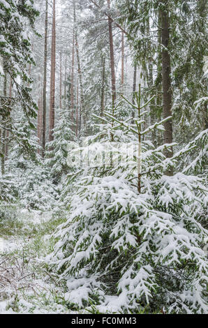 Spruce covered with snow in winter forest - Stock Photo