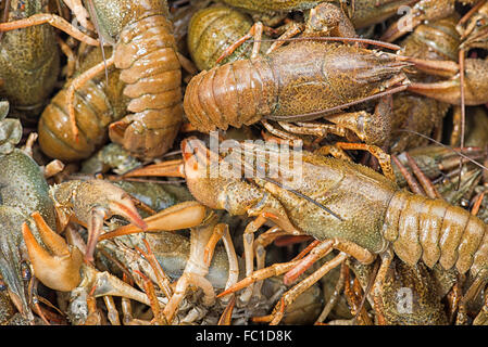 Many live crayfish on kitchen - Stock Photo