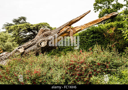 Fallen tree trunk leaving a sinister effigy in a woodland garden at Hestercombe UK - Stock Photo