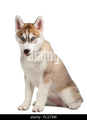 Siberian Husky puppy licked - Stock Photo