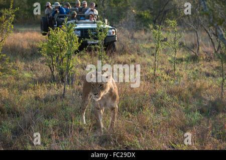 Lioness (Panthera leo) and safari jeep, Sabi Sands Game Reserve, South Africa - Stock Photo