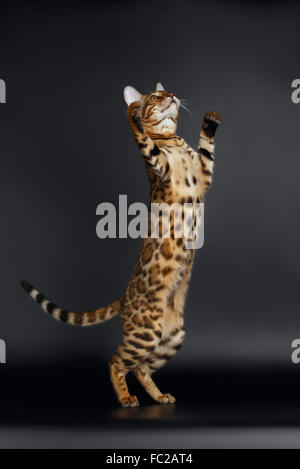 Are bengal cats playful