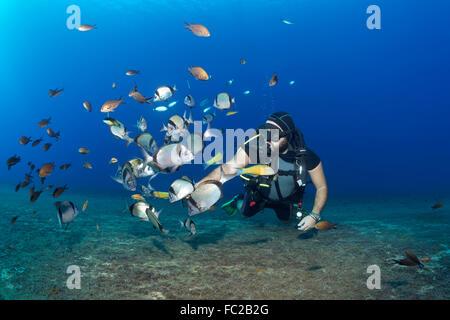 Diver feeding fish, White seabream or Sargo (Diplodus sargus), Larnaca, Cyprus - Stock Photo