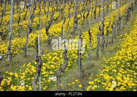 vine - Stock Photo