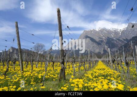 vine in the alps - Stock Photo