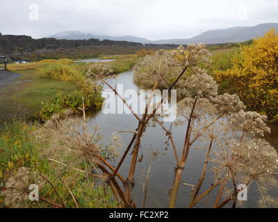 Interesting plants in Thingvellir National Park - Stock Photo