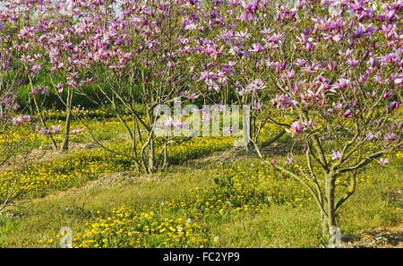 purple magnolia bushes and yellow dandelions - Stock Photo