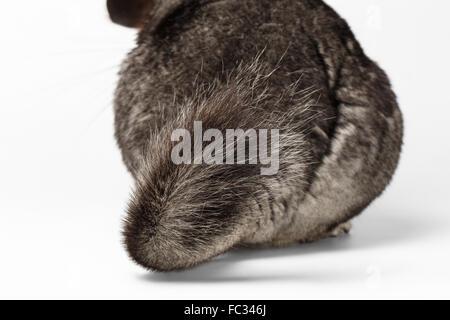 Tail of Gray Chinchilla on white - Stock Photo
